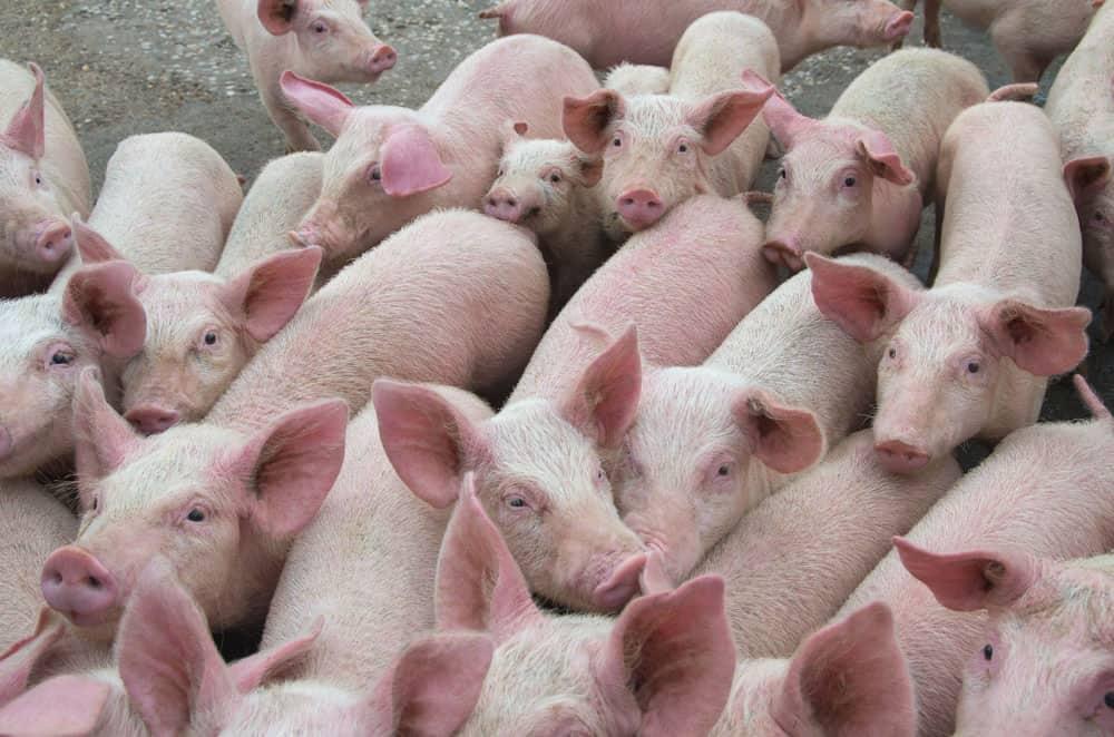 Livestock breeding. The farm pigs.